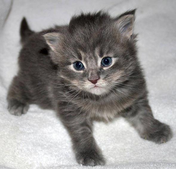 Blue Bayou [4] kitten