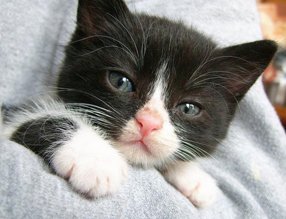 Mushu [4] kitten