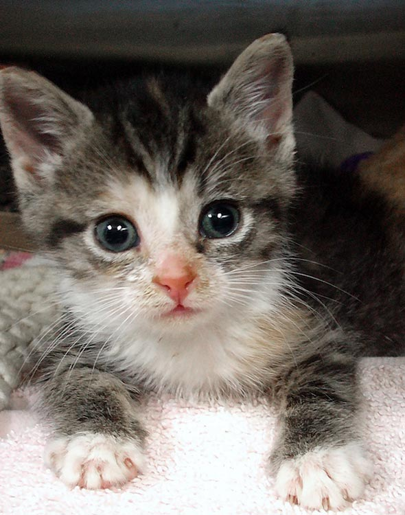 Suki [4] kitten