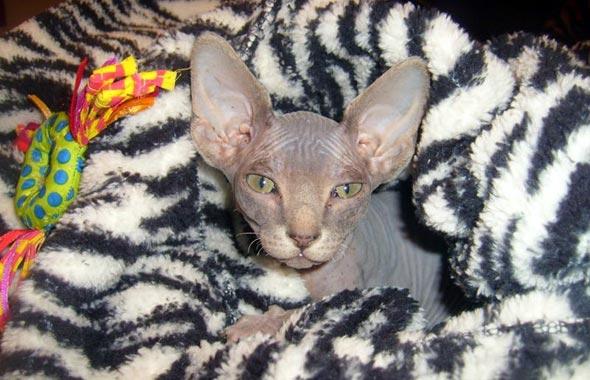 Dobby [4] kitten