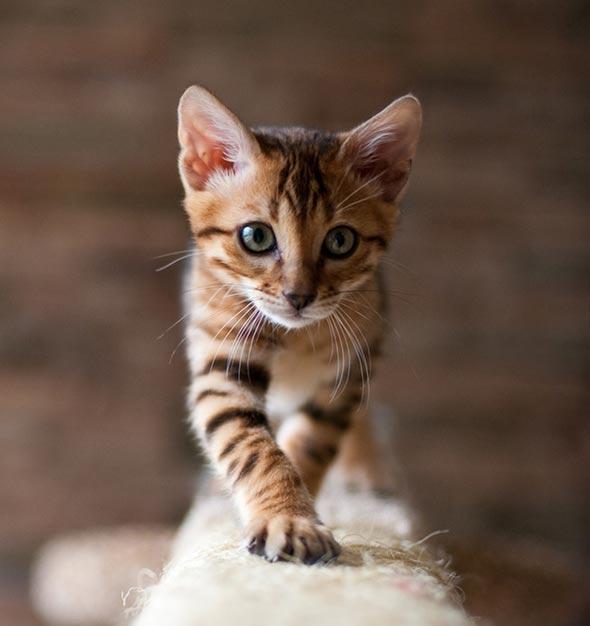 Stanley [4]  kitten