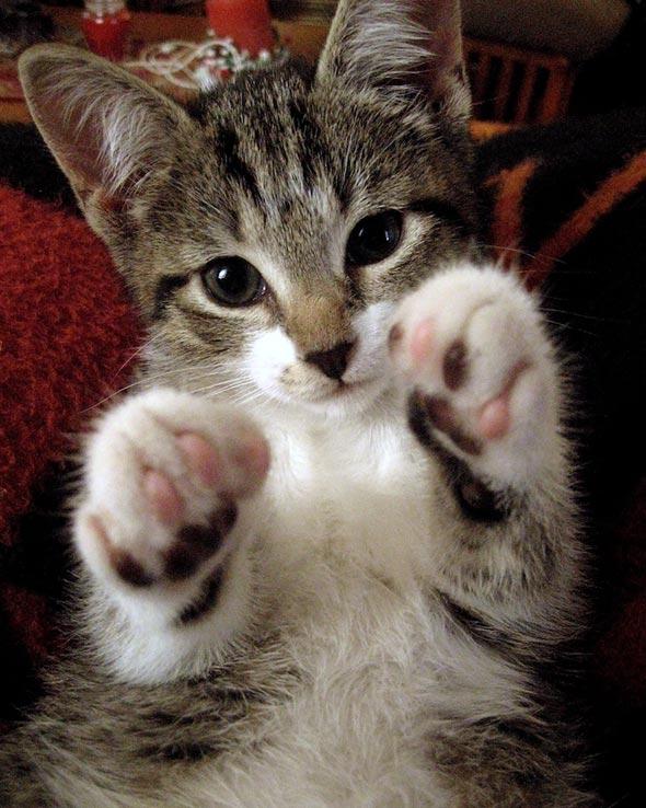 Shy [5]  kitten