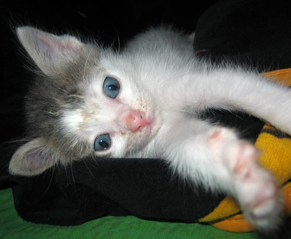 Franek [4] kitten