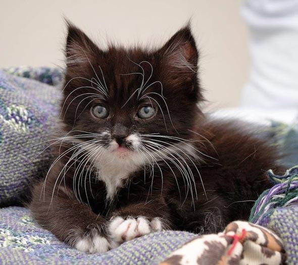 Lola [4]  kitten