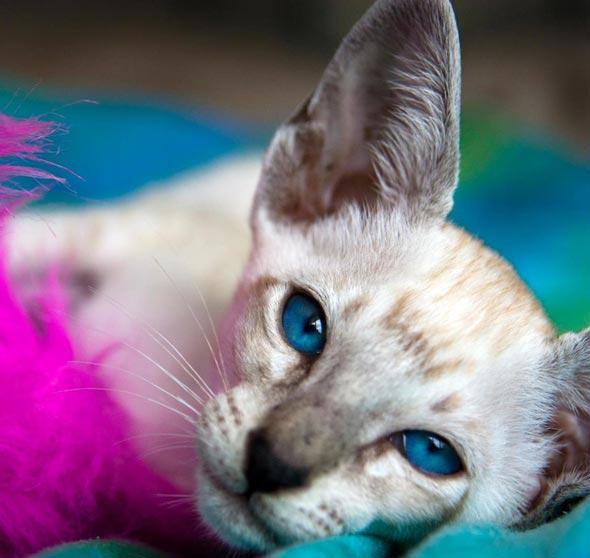 Ichabod [5]  kitten