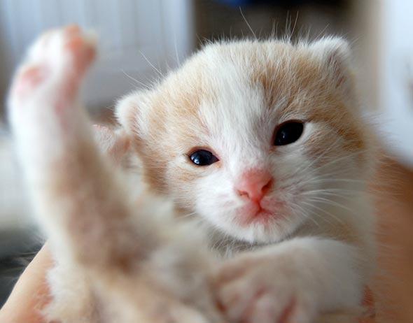 Snugglemuffin [4] kitten