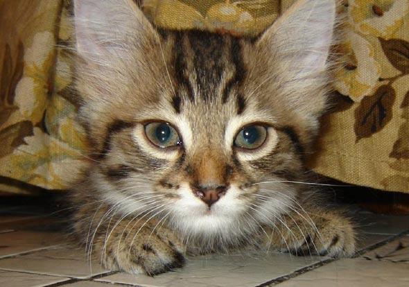 Myo [5]  kitten