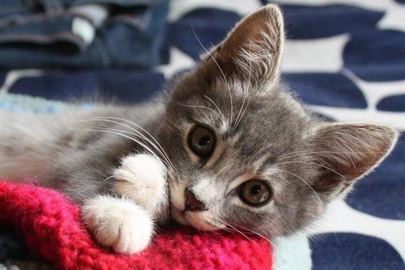Torritt Grey  kitten