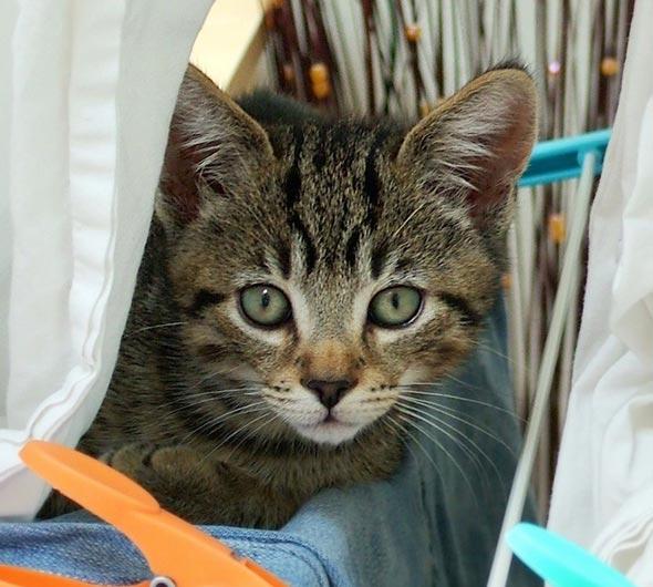 Oscar [4] kitten