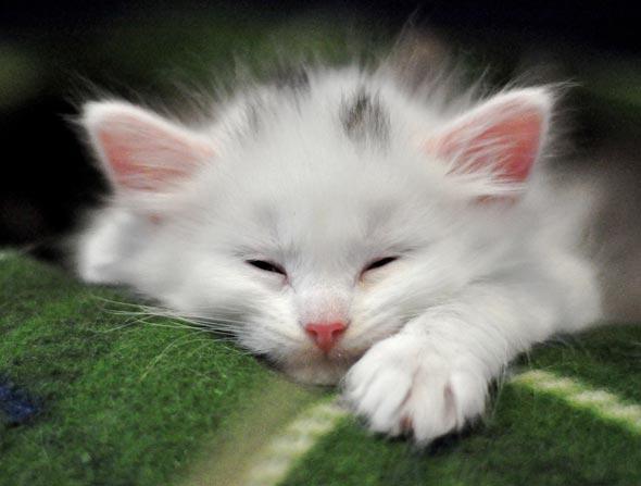 Isabella's Kittens: Lemoni [4] kitten