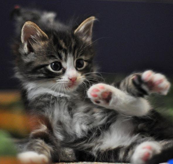 Isabella's Kittens: Ricardo [4] kitten