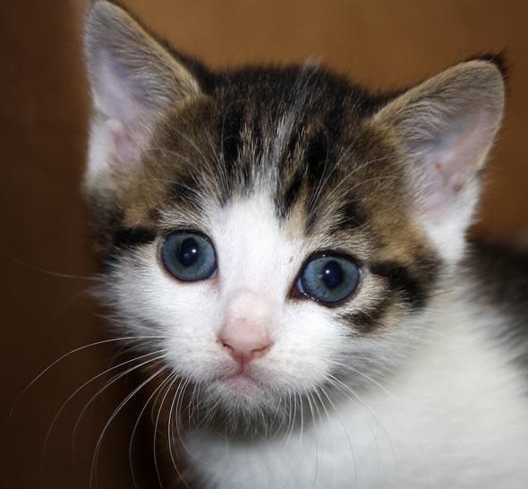 Karina's Kittens: Punky [4] kitten