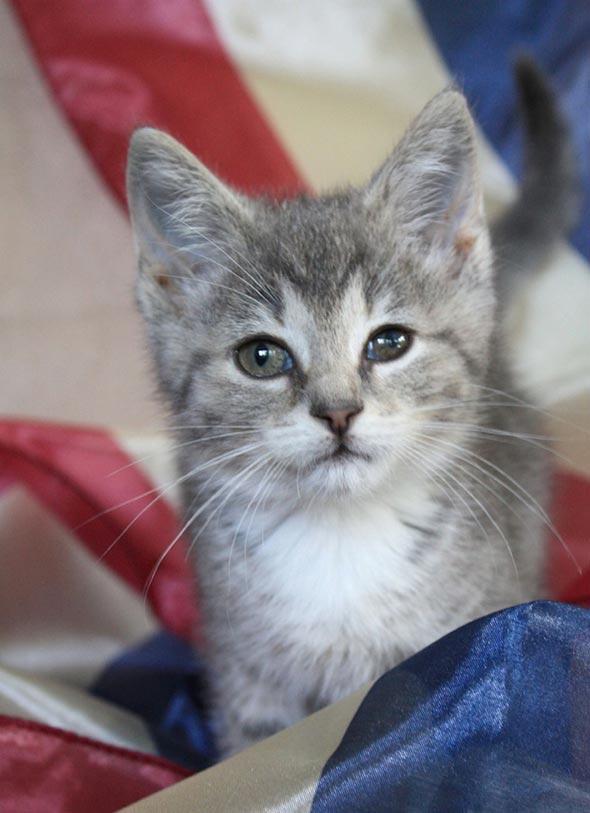 Misty Gray [5] kitten