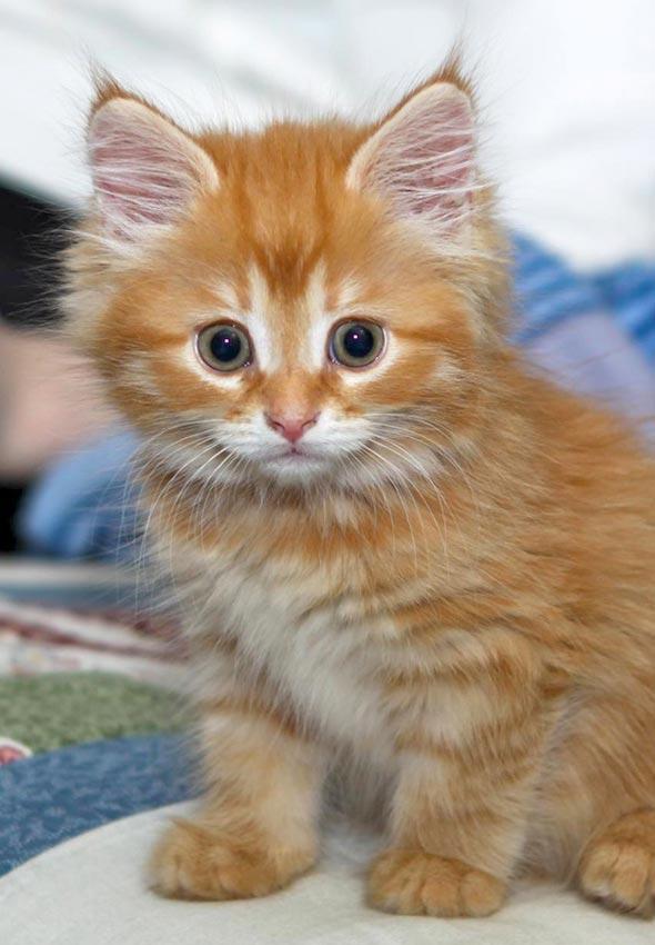 Finnegan [5]  Binghamton, New York, USA kitten