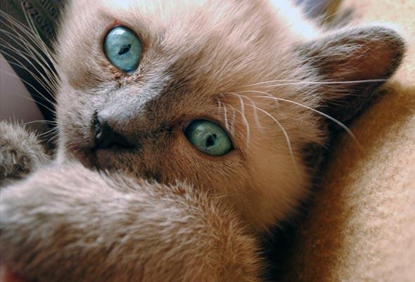 Nilla [4] kitten