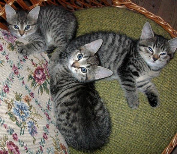 Selma's Kittens [4]  kitten