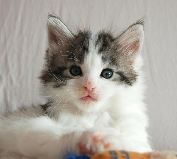 Five Poly Maine Coon: Genie [4] kitten