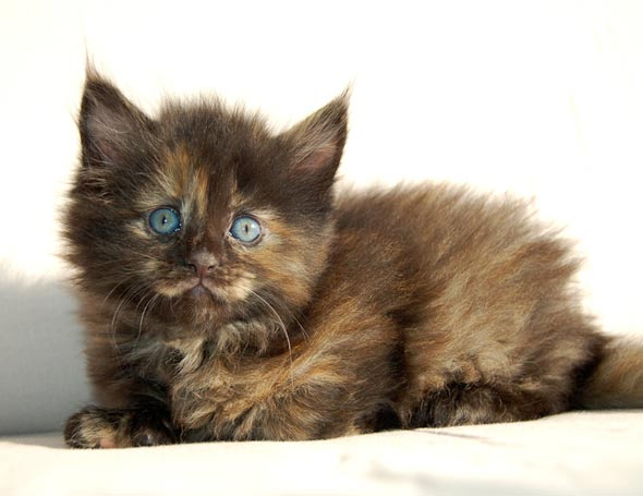 Five Poly Maine Coons: Hira [5]  kitten