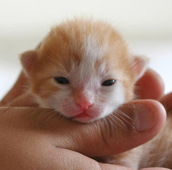 Bo's Baby Boy orange orange-cream kitten