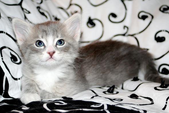 Maizi [4] kitten