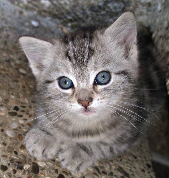 Grey Tabby Kitten tabby kitten