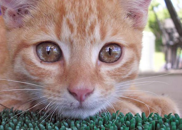 Ginger Kitten  kitten