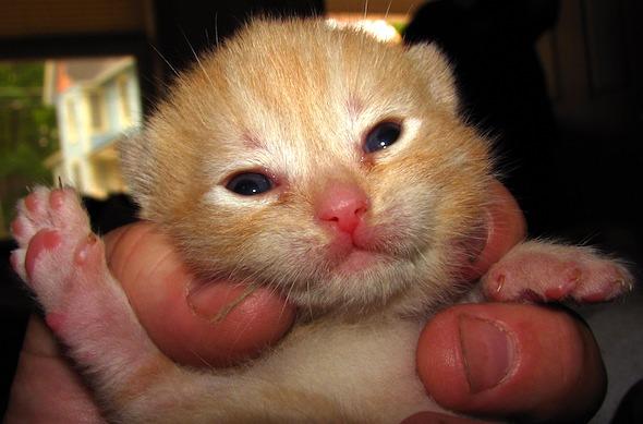 A Tortie Mom's Ginger Kitten [4] kitten