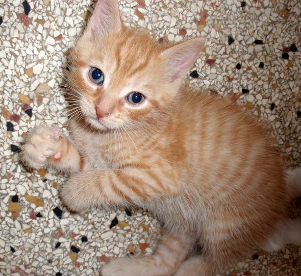 Cédric [4] kitten