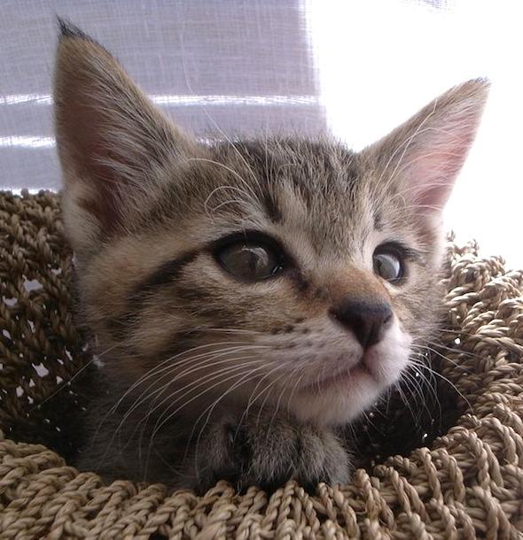 Gustav  kitten
