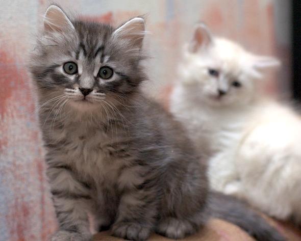 Siberian Kittens [4]  kitten