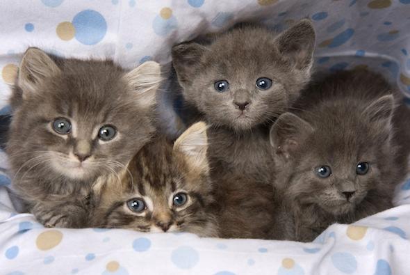 Four Grey Kittens [4]  kitten