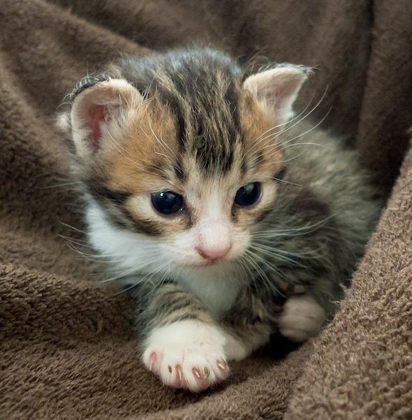 Sicca the 3rd [5]  kitten