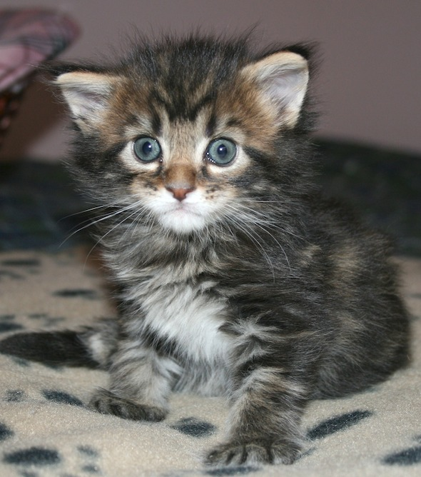 Leroy [3] kitten