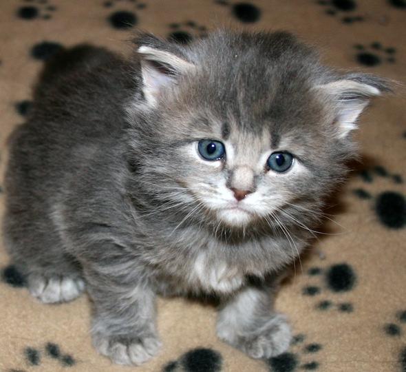 Sophia [4] kitten