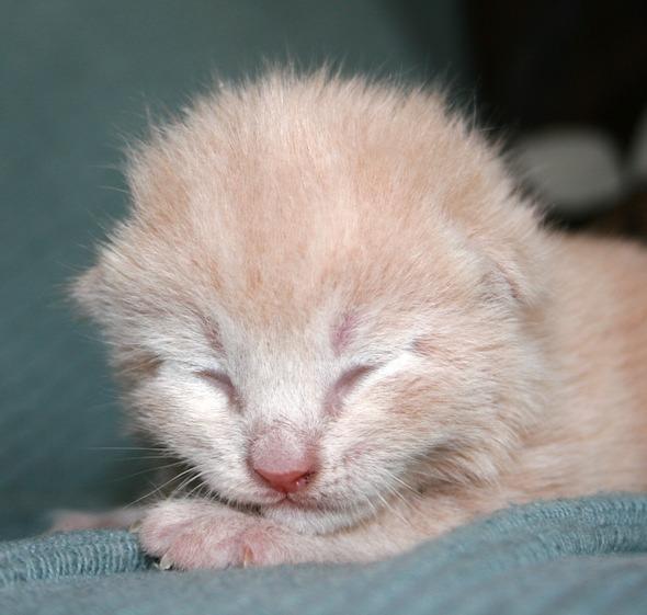 Perdy's Kittens: Oscar [3]  kitten