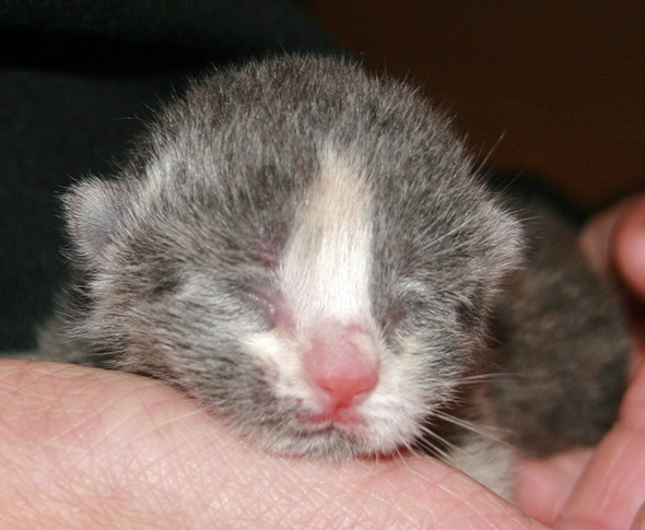 Perdy's Kittens: Daisy [4]  kitten