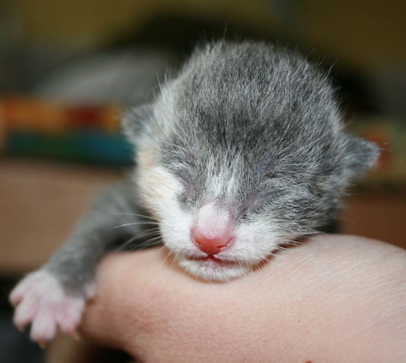 Perdy's Kittens: Dora [4]  kitten