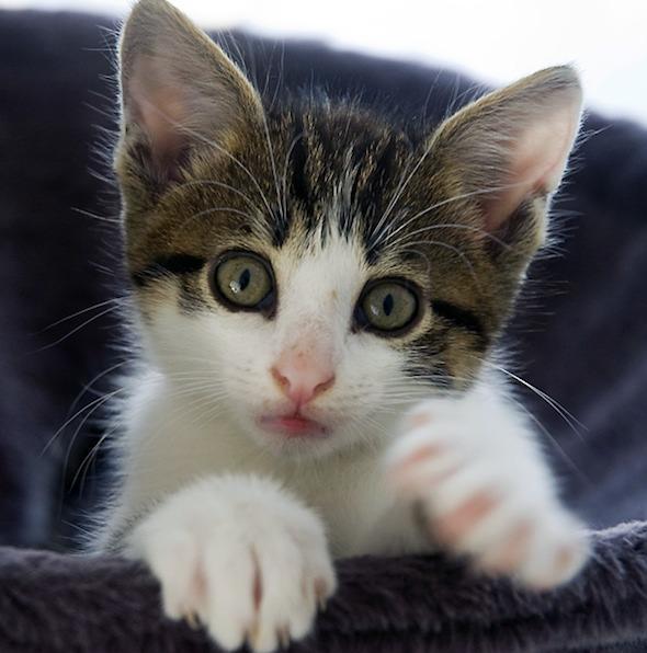 Clovis [3]  kitten