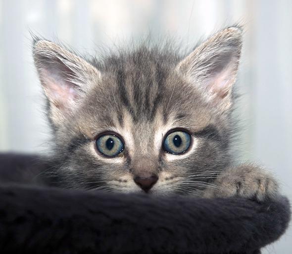 Grisou  kitten