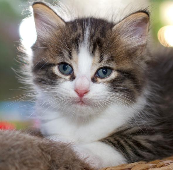 Lylie's Latest Litter Part 1: Binck  kitten