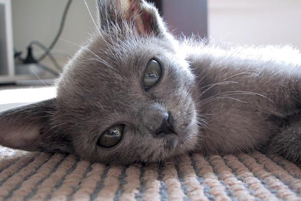 Maui  kitten