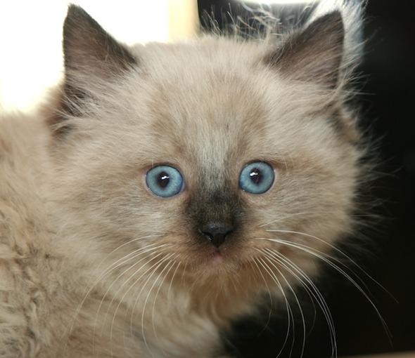 Jaxson's Brother [5] kitten