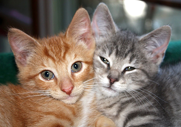 Encore: Misty Gray and Ginger  kitten