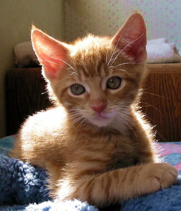 New Year's Eve Kittens: Tuffy [4] kitten