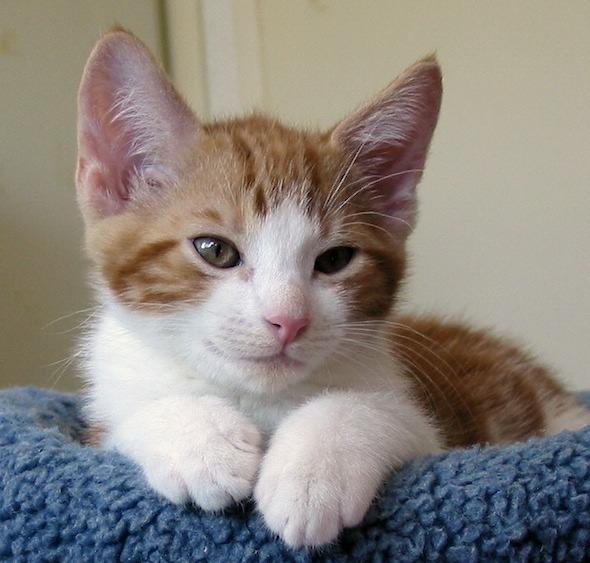 New Year's Eve Kittens: Scruffy [4] kitten