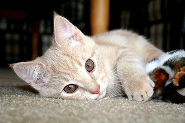 Indio Jude [5] kitten