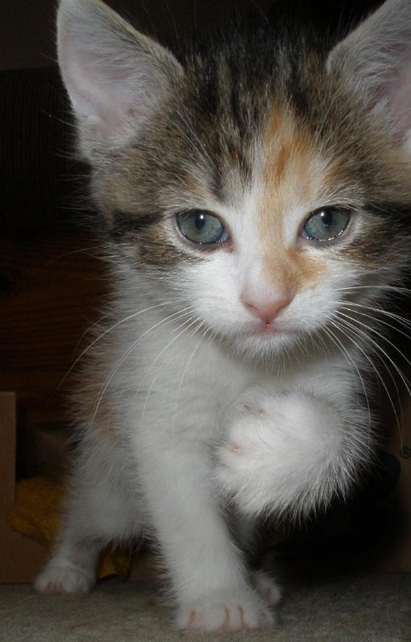 Megatron [5] kitten