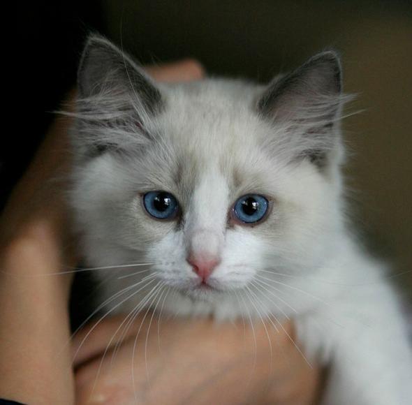 Milo Sebastian [5]  kitten