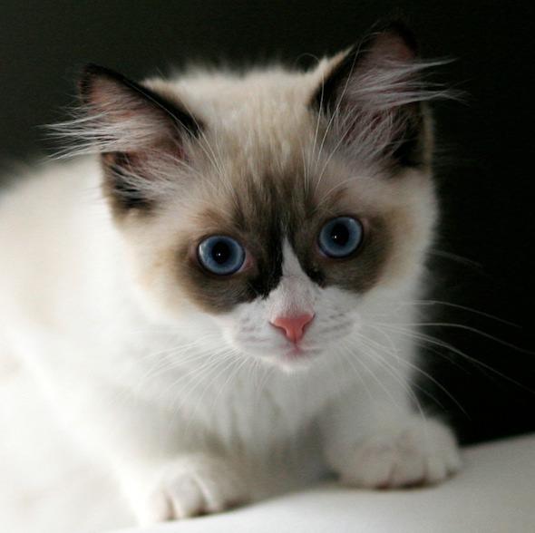 Millie Minelli [4] kitten