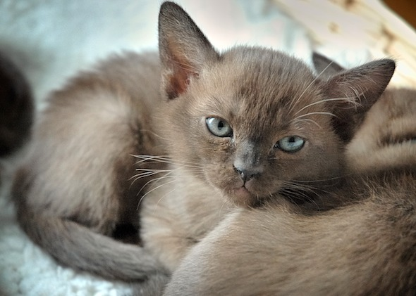 Geisha [4] kitten
